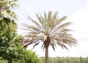 lethal-bronzing-disease-palm-tree-