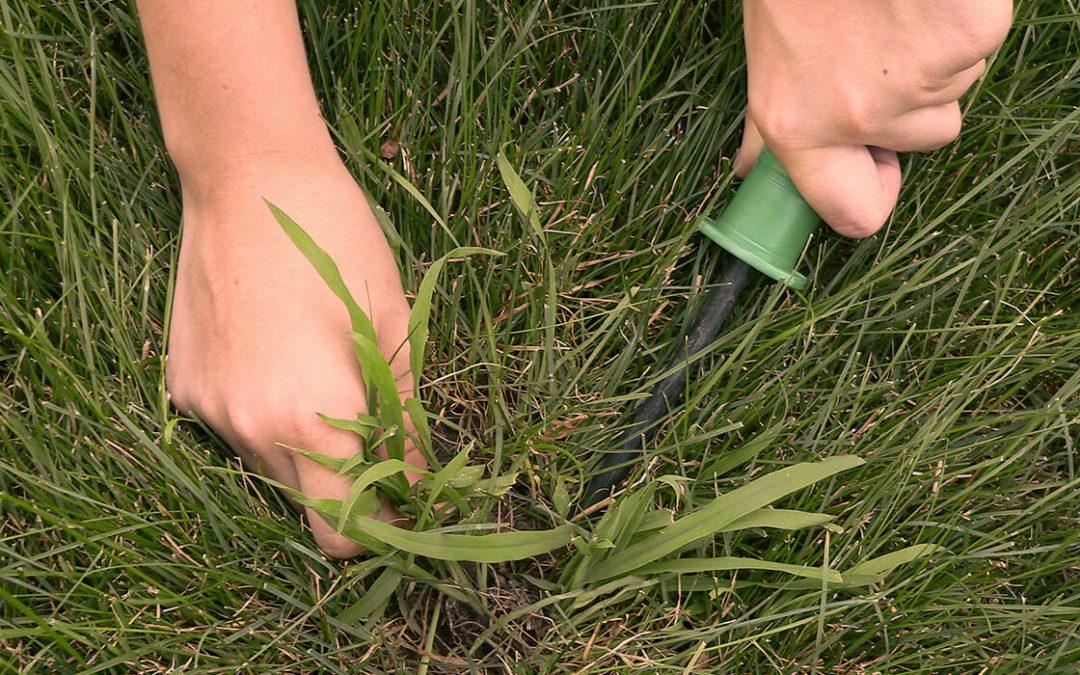 Pest Alert: Crabgrass in St. Augustine Grass Lawns