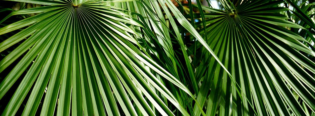 Plant Profile: European Fan Palm