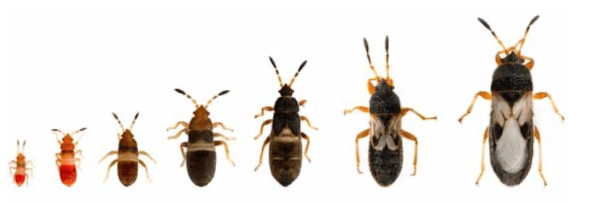 chinch bug development