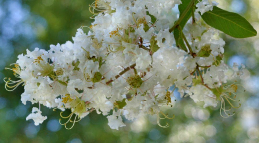 Plant Profile: Natchez Crape Myrtle